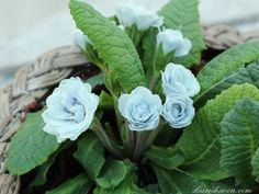 Double primrose BLUE ICE