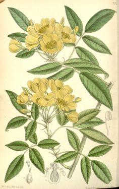 Lady Banks Rose - Rosa banksiae - circa 1891
