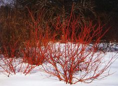 Cornus sericea 'Cardinal' 8x
