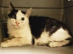 ***FELV POSITIVE AND PREGNANT** POLYDACTYL BRIDGETTE is 4 years old, underweight, and is pregnant. She also tested positive for FELV. She needs immediate rescue. Please help this polydactyl girl.