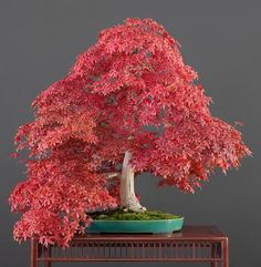 One of the things I like most about Bonsai is the fact that it is a living art. Bonsai trees change over time as well as through the seasons. Mame Bonsai, Bonsai Fruit Tree, Indoor Bonsai Tree, Fruit Trees, Plantas Bonsai, Bonsai Seeds, Tree Seeds, Bonsai Meaning, Prunus Mume