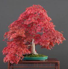Red Oak bonsai seeds [ 10pcs / pack ]