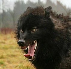 Beautiful Black Wolf. I Pray For Your Survival