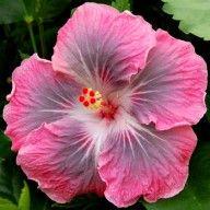 """Magic Crystal"" ....Tropical hibiscus ....Costa Farms ..."