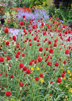 Serenity in the Garden: Garden Photo of the Day - Red Gomphrena, Strawflower