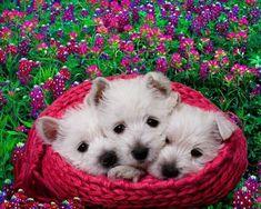 Westies -- West Highland White Terriers at six weeks. by katharine