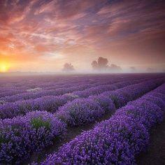 Lavender Farm in Blanco, TX