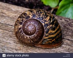 Download this stock image: Common Garden Snail (Helix aspersa) in its Shell, Dorset, UK. Europe - D4726N from Alamy's library of millions of high resolution stock photos, illustrations and vectors.