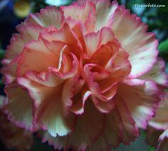 carnation flower tattoo images | white carnation flower , Carnation Flowers