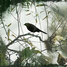 Early MORNING CROW, a foggy misty morning green forest woodland 8x8 photograph for the outdoors nature and bird lover