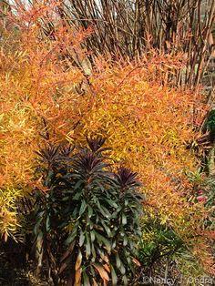 Spiraea thunbergii 'Ogon' (Mellow Yellow) with Euphorbia 'Blackbird'; Nancy J. Ondra at Hayefield