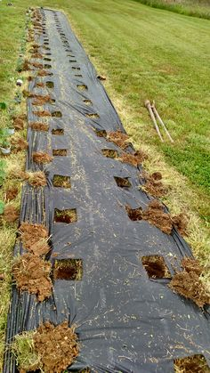 Planting the new strawberry patch