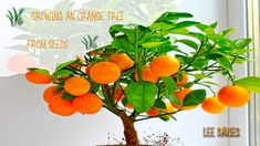 How to : Grow an Orange tree from seed.