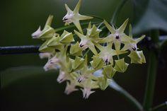 Hoya Multiflora starts to flower