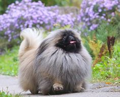 Just a walk in the park for this happy Peke!
