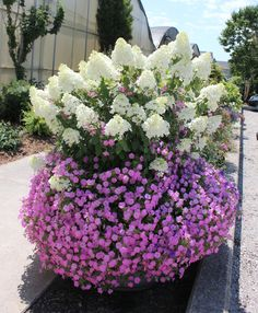 Flowering shrubs in containers = lots of bang for the buck. Here, Bobo hardy hydrangea keeps company with Vista Bubblegum petunia.  While hyd...