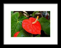 flamingo flower, orange, flower, nature, michiale schneider photography