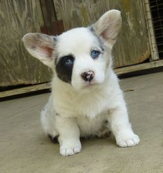 Cardigan Corgi pup: alternate Spuds Mackenzie, stand in and understudy. Does it look like I'm a happy camper? All the waiting is getting on my nerves. Cute Corgi Puppy, Corgi Dog, Cute Puppies, Pet Dogs, Dogs And Puppies, Dog Cat, Doggies, Jiff Pom, Animales