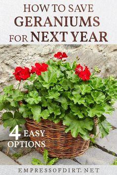 Overwintering Geraniums, Geraniums Garden, Red Geraniums, Geranium Planters, Propagating Geraniums, Garden Yard Ideas, Lawn And Garden, Garden Landscaping, Garden Projects