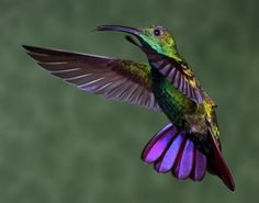 Discover Life's page about the biology, natural history, ecology, identification and distribution of Anthracothorax prevostii, Green-breasted Mango image Beautiful Birds, Animals Beautiful, Hummingbird Garden, Bee Eater, Tropical Birds, Bird Pictures, Trinidad, Animals And Pets, Creatures