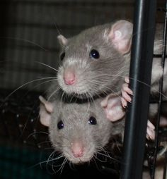 cute rats - I love rats ... I had three girls and hubby had 3 boys. Separate cages mind you .... they are cuddly and very smart. I will have pet rats again one day!! :D