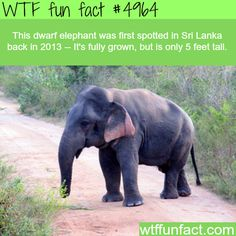 This dwarf elephant was first spotted in Sri Lanka back in 2013 --- it's fully grown, but is only 5 feet tall.