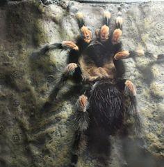 Tarantulas: Alive and Up Close at Como Zoo.