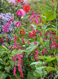 Polygonum orientale Kiss Me Over The Garden Gate