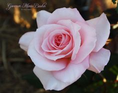 Growing Roses in Subtropical Climates | Hains Roses | New Roses for Warm Climates