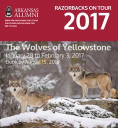 "#TravelTuesday - #RazorbacksOnTour, head to Yellowstone National Park for a very special 7-day wildlife expedition. Search for wolves, traveling in safari vehicles and interpreting tell-tale signs with the help of an Orbridge Expedition Leader. Don't miss this extraordinary experience in the ""Serengeti of North America."" Space is limited so book today.  http://ow.ly/iEBL300U4QS"