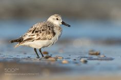 Sanderling by urszimmermann #animals #pets #fadighanemmd