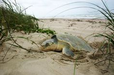 The Kemps-ridley turtle > > Meet 9 Endangered National Park Animals