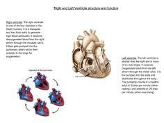 The Left and Right ventricle structure and function.  (Human biology)