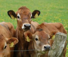 Those lovely Cows ..... a little about the Jerseys