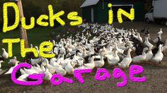 Dug & A Fox Now #41 Raising Ducks For Charity