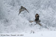Great Grey Owl 26.1.2013 by Antti Peuna, via Flickr