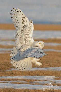 Awesome White Owl