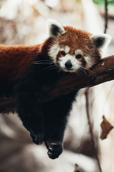 """drxgonfly: """" Red Panda (by Garret Voight) """""""