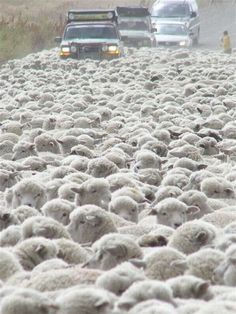 A traffic jam in Scotland.When I first moved to Phoenix in 1975 this would happen in the spring when the sheep came down from the highlands for shearing. I Smile, Make Me Smile, Farm Animals, Cute Animals, Knit Animals, In Natura, Counting Sheep, Sheep And Lamb, Tier Fotos