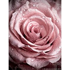 Pink rose ❤ liked on Polyvore featuring backgrounds, flowers, images, pictures, filler and wallpaper
