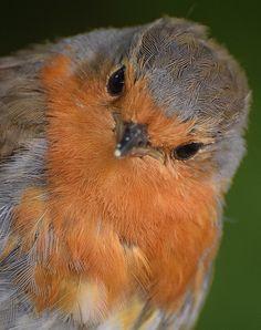 English robin. All Birds, Cute Birds, Pretty Birds, Little Birds, Beautiful Birds, Animals Beautiful, Funny Bird, Animals And Pets, Cute Animals