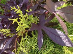 PURPLE & LIME lend pop to a classic garden. RS McDANNELL