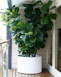 I like the dark green color or this fig tree and large leaves. Fiddle Leaf Fig Tree, Ficus lyrata, lush foliage for the tropical effect Plantas Indoor, Fiddle Leaf Fig Tree, Fig Leaf Tree, Decoration Plante, Food Decoration, House Decorations, Plantation, Houseplants, Garden Plants