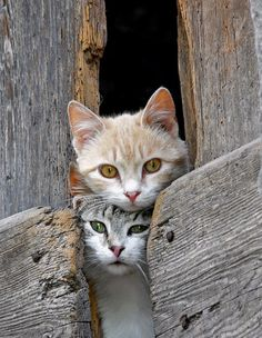 """Let's have a look...""  (Cats peeking through barn boards)"