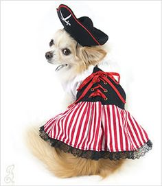 chihuahua in lady pirate dog costume