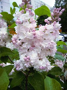 """Lilac """"Beauty Of Moscow"""" Blossom Garden, Pink Garden, Garden Trees, Trees To Plant, Lavender Flowers, Beautiful Flowers, Lilac Plant, Plantation, Flower Backgrounds"""