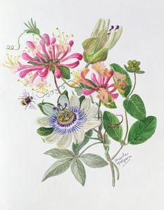 Ursula Hodgson Honeysuckle And Passion Flower print for sale. Shop for Ursula Hodgson Honeysuckle And Passion Flower painting and frame at discount price, ships in 24 hours. Botanical Drawings, Botanical Illustration, Illustration Art, Botanical Flowers, Botanical Prints, Flower Prints, Flower Art, Watercolor Flowers, Watercolor Art