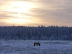 The beautiful Yakut horse in the snow.