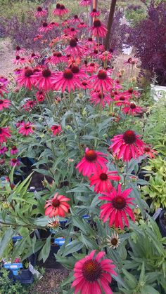 Echinacea 'Hot Summer' Hot Summer Coneflower - This Coneflower is a little on the tall side, ranging from 2'-3'. This zone 4 perennial flowers from early to late summer. They start off as an orange-red color that turn into an amazing deep red by the fall. Not only do these coneflowers make a great addition to any perennial bed in masses, but also make great arrangements as well.