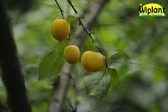Prunus domestica 'Onega', plommon. Går också under namnet Laatokan helmi. Självpollinerande.   Ger gula frukter tidigt.  Mognar i slutet på augusti.  Bra vinterhärdighet.  Zon IV.